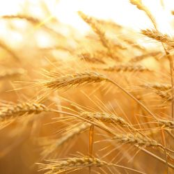 Top 5 Reasons Wheat Proteins are the Best Proteins